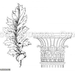 Echte Bärenklaue: Blatt und Kapitell einer korinthischen Säule mit Akanthusblättern