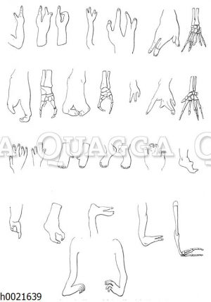 Verminderung der Finger und Zehen