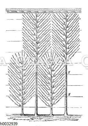 Spalierbäume