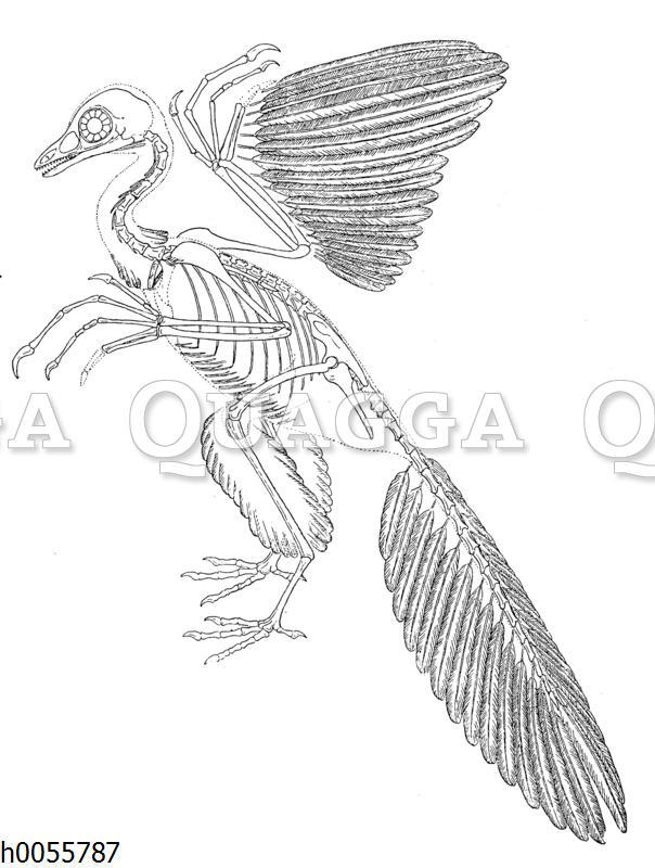 Archaäopteryx: Skelett und Teil des Federkleides