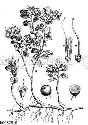 Preiselbeere
