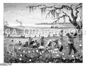 Ernte von Baumwolle in Louisiana