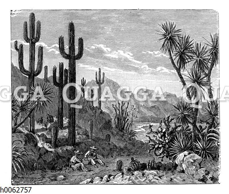 Aus der Riesenkaktus- und Yucca-Region