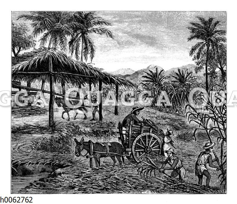 Zuckerrohrpflanzung auf Cuba