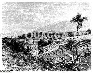 Reisterrassen auf Java