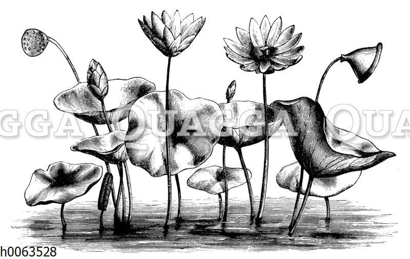 Amerikanische Lotosblume