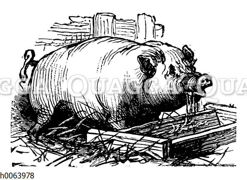 Schwein am Trog