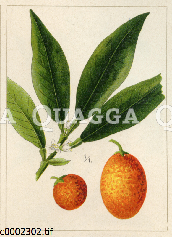 Japanische Zwerg-Orange