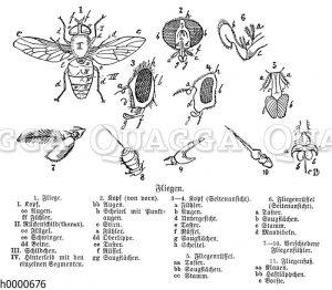 Schmeißfliege: Körperteile