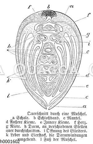 Muschel: Querschnitt