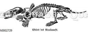 Maulwurf: Skelett