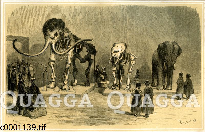 Mammut im Museum in St. Petersburg