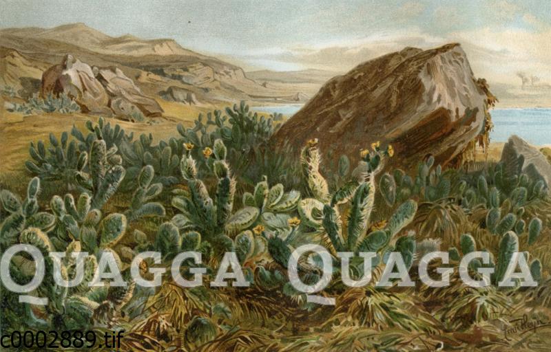 Opuntien auf dem Plateau von Anahuac (Mexiko)