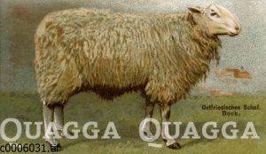 Ostfriesiesches Schaf