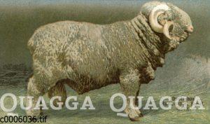 Deutsches Rambouillet-Schaf