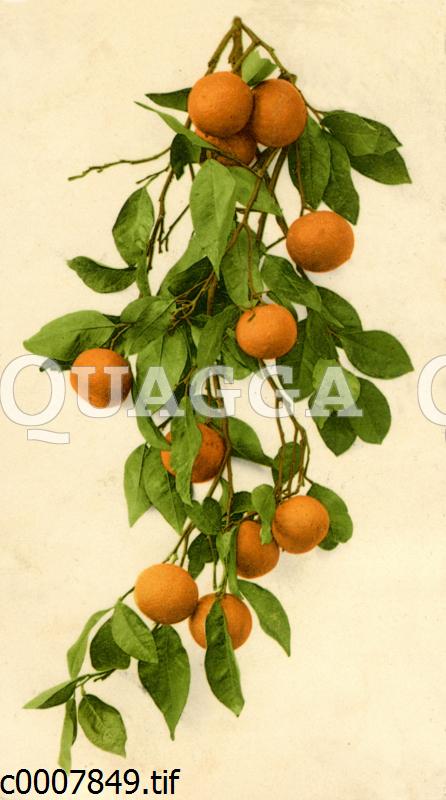 Zweig mit Orangen