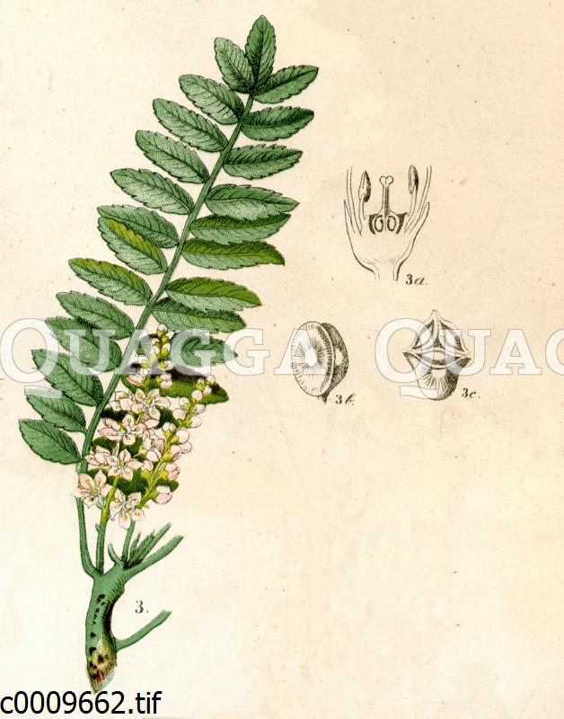 Indischer Weihrauchbaum