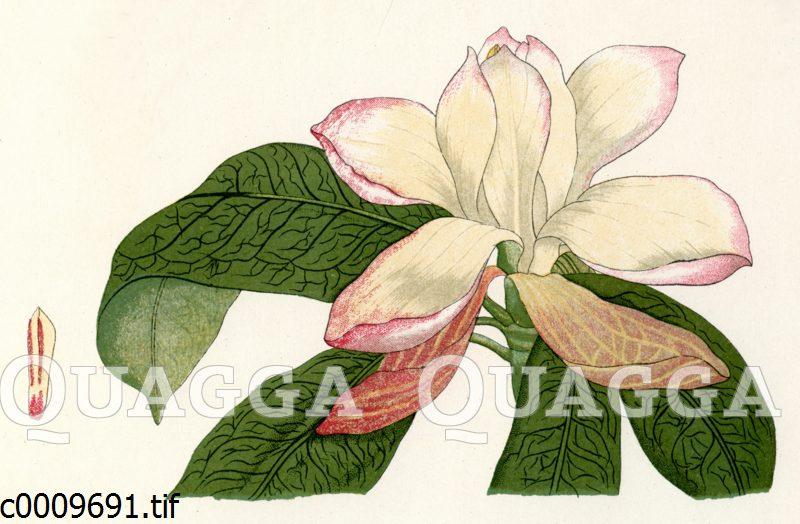 Roter Lotusbaum