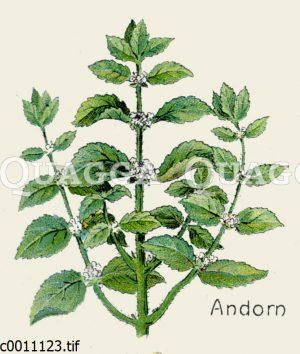 Andorn