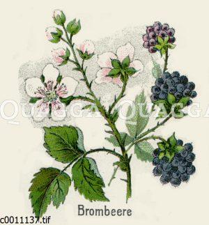 Brombeere