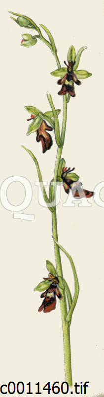 Fliegen-Ragwurz