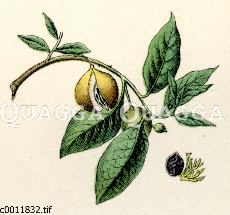 Muskatnussbaum