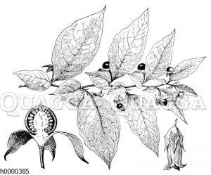 Tollkirsche mit Blüte und Frucht