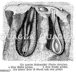 Bohrmuschel