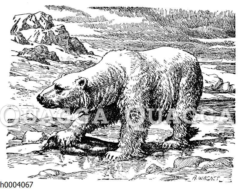 Eisbär mit erbeutetem Seehund