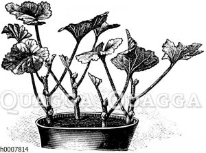 Topf mit Pelargonienstecklingen