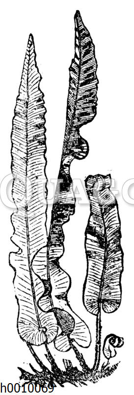 Hirschzunge