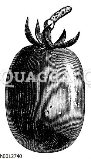 Tomate König Humbert