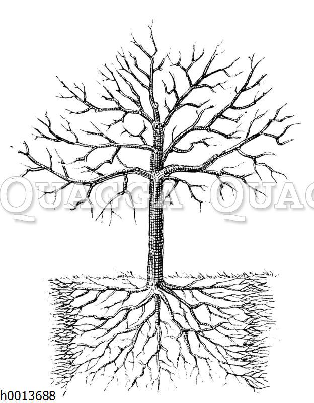 Wirkung des Wurzelschnittes und der Neudüngung bei älteren Obstbäumen