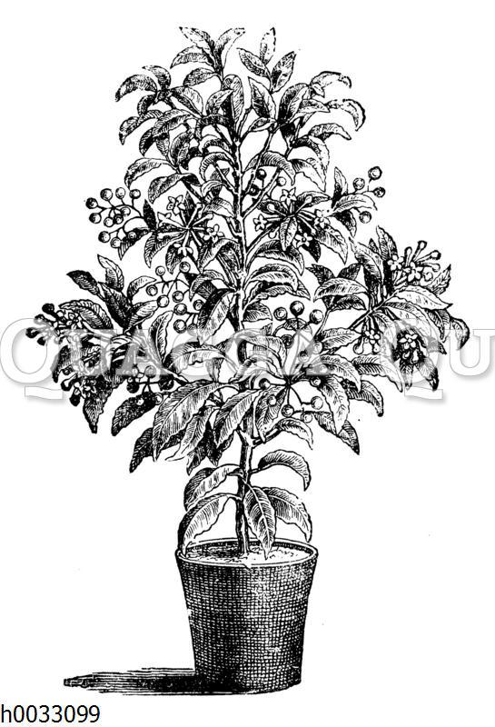 Gekerbte Spitzblume