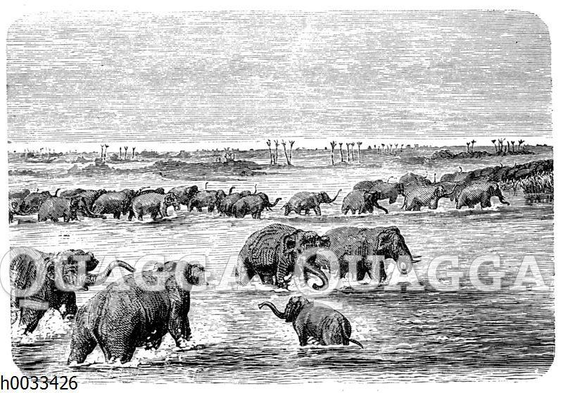 Elefantenherde beim Durchqueren einer Furt