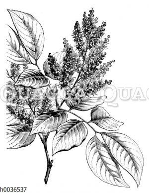 Copaifera