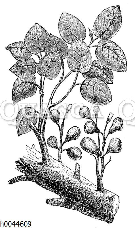Maulbeerfeige