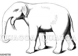 Dinotherium giganteum