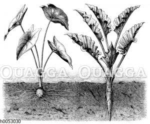 Zentrifugale und zentripetale Ableitung des Wassers an Pflanzenblättern