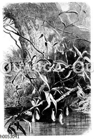 Nepenthes destillatoria