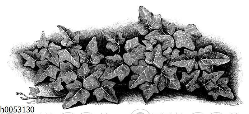 Efeu: Blättermosaik