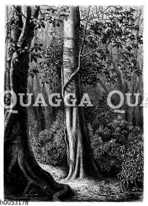 Ficus mit gurtförmigen Kletterwurzeln