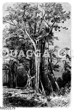 Ficus benjamin mit inkrustierenden Kletterwurzeln