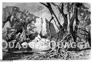 Ficus mit gitterbildenden Kletterwurzeln