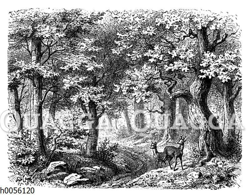 Rehe im Eichenwald