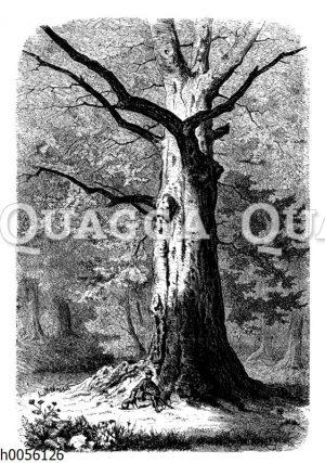 Große alte Buche im Hudewald