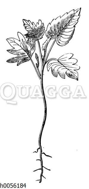 Linde: Jungpflanze