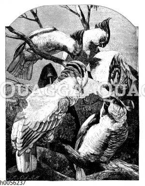 Papageien und Kakadus