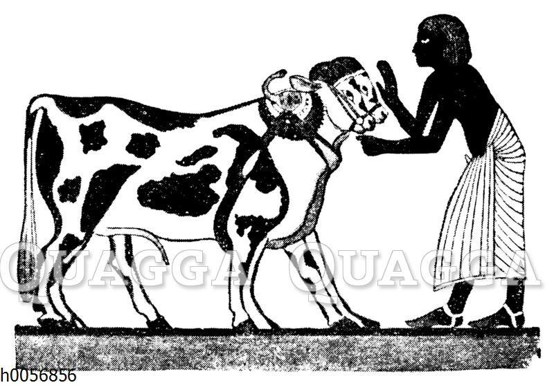 Hornlose Rinder im alten Ägypten