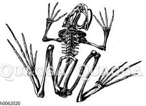 Frosch: Skelett